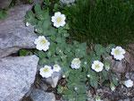 Cerastium uniflorum (Einblütiges Hornkraut) / Caryophyllaceae
