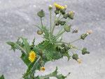 Sonchus asper (Rauhe Gänsedistel) / Asteraceae