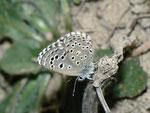 Pseudophilotes panoptes / E Andalusien, Ùbeda-Baeza-Sotogordo, Rio Guadalquivir 300 m, 25. 04. 2012