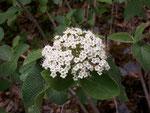 Viburnum lantana (Wolliger Schneeball) / Caprifoliaceae