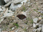 Nymphalis antiopa (Trauermantel) / Italien Onsernonetal 1000 m, 25. 06. 2013