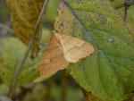Agriopis aurantiaria (Orangegelber Breitflügelspanner) / CH BE Hasliberg 1050 m, 01. 11. 2016