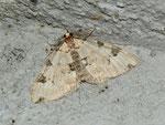 Colostygia pectinataria (Prachtgrüner Bindenspanner) / CH BE Hasliberg 1050 m, 24. 07. 2012 (Falter am Licht)