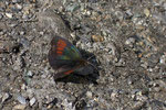 Erebia tyndarus (Schillernder Mohrenfalter, Männchen) / CH VS Lac Mauvoisin 1900 m, 18. 07. 2006