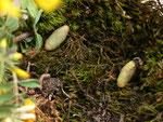 Polyommatus bellargus (Himmelblauer Bläuling, Zuchtpuppen) / CH BE Hasliberg, 09. 05. 2015