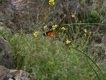 Danaus chrysippus / España Kan. Inseln Tenerife Suarez, 04. 01. 2014
