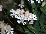 Silene vulgaris (Taubenkropf-Leinkraut) / Caryophyllaceae