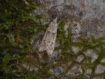 Diurnea fagella (Buchenmotte oder Sängerin, Männchen) / CH SG Walenstadt Lindenwald 628 m