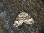 Colostygia turbata (Labkraut-Alpenspanner) / CH TI Bedrettotal Paltano 1800 m, 06. 07. 2016