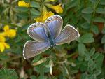 Polyommatus bellargus (Himmelblauer Bläuling, Weibchen) / CH BE Hasliberg 1130 m, 30. 05. 2014