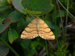 Itame brunneata (Waldmoorspanner) / CH BE Hohgant 1850 m, 30. 07. 2012
