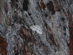 Venusia cambrica (Ebereschen-Bergspanner) / CH TI Bedrettotal 1837 m, 06. 07. 2016