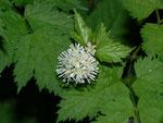 Actaea spicata (Ähriges Christophskraut) / Ranunculaceae