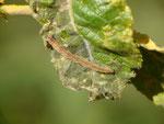 Eupithecia subfuscata (Hochstaudenflur-Blütenspanner) / CH VS Saas-Grund  Üsseri Wildi 1595 m, 07. 09. 2017,  auf Salix caprea