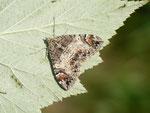 Chloroclysta citrata (Buschahlden-Blattspanner, Zuchtfalter aus obiger Raupe) / CH BE Hasliberg 1050 m, 21. 07. 2015