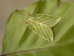 Pseudoips prasinana (Buchen-Kahneule) / CH BE Hasliberg 1050 m, 26. 05. 2014