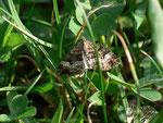 Xanthorhoe biriviata (Springkraut-Blattspanner) / CH BE Hasliberg Halgenflue 1270 m, 14. 05. 2015