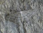 Idaea seriata (Grauer Zwergspanner) / CH BE Hasliberg 1050 m, 06. 07. 2016