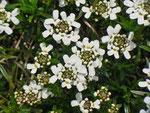 Iberis sempervirens (Immergrüne Schleifenblume) / Brassicaceae