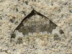 Coenotephria tophaceata (Grosser Felsen-Bindenspanner) / CH BE Hasliberg 1050 m, 18. 09. 2012
