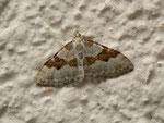Xanthorhoe montanata (Schwarzbraunbinden-Blattspanner) / CH BE Hasliberg 1240 m  30. 05. 2014