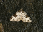 Xanthorhoe fluctuata (Garten-Blattspanner) / CH BE Hasliberg 1180 m, 26. 03. 2014
