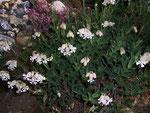 Silene vulgaris (Gew. Leimkraut) / Scrophulariaceae