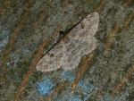 Peribatodes rhomboidaria (Rauten-Rindenspanner) / CH TI Magadino, Bolle di Magadino 199 m, 01. 10. 2013