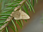 Herminia tarsicrinalis (Braungestreifte Spannereule) / CH BE Hasliberg 1060 m, 03. 08. 2013