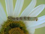 Eupithecia absinthiata (Kreuzkraut-Blütenspanner) / CH BE Hasliberg 1150 m, 09. 10. 2014