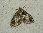 Chloroclysta citrata (Buschhalden-Blattspanner) / CH BE Hasliberg 1050 m, 16. 09. 2012