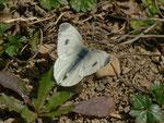 Pieris mannii (Karstweissling, Weibchen beim Ausruhen nach der Eiablage) / CH BE Hasliberg 1050 m, 04. 04. 2014