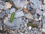 Polyommatus coridon (Silbergrüner Bläuling, Raupe hellgrün links, und P. bellargus Raupe dunkelgrün rechts) / CH BE Hasliberg 1100 m, 14 04. 2007