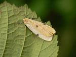 Lithosia quadra (Vierpunkt-Flechtenbärchen, Weibchen) / CH BE Hasliberg 1050 m, 23. 08. 2014