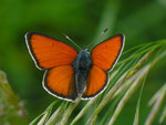 Lycaena hippothoe eurydame (Kleiner Ampferfeuerfalter, Männchen) / CH UR Urserental bei Realp 1538 m, 29. 06. 2012