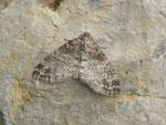 Lobophora halterata (Grauer Lappenspanner) / CH BE Hasliberg 1050 m, 14. 05. 2015