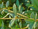 Biston betularia (Birkenspanner) / CH BE Hasliberg 1050 m, 20. 09. 2013 (gefunden an Berberis vulgaris)