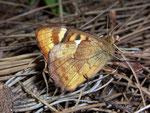 Pararge xiphioides (Kanaren-Waldbrettspiel, Weibchen) / Spanien Kan. Inseln La Palma Puntellana Barranco del Augua 300 m, 22. 01. 2010