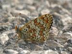 Melitaea phoebe (Flockenblumen-Scheckenfalter) / Spanien, Region Valencia, Alcoy, Benasau 702 m, 04. 05. 2012