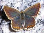 Polyommatus bellargus (Himmelblauer Bläuling, Weibchen) / CH BE Hasliberg 1050 m, 19. 08. 2007
