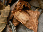 Agrochola macilenta (Gelbbraune Herbsteule) / CH BE Hasliberg 1050 m, 24. 11. 2016
