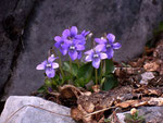 Viola reichenbachiana (Wald-Veilchen) / Violaceae