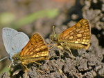 Carterocephalus palaemon (Gelbwürfeliger Dickkopffalter) / CH FR Grandvillard, La Coudrè 1329 m,  17. 06. 2013