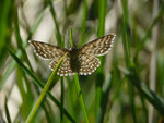 Scopula immorata (Marmorierter Kleinspanner) / CH VS Albinen Tschärmilonga Bradele 1914 m, 08. 06. 2017