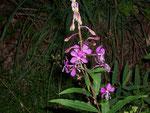 Epiblobium angustifolium (Weidenröschen) / Onograceae