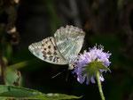 Argynnis paphia f. valesina (Esper, 1800) (Kaisermantel, Weibchen) / CH VS Geschinen Birchwald 1525 m, 26. 08. 2015