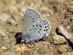 Plebejus optilete (Moor-Heidelbeer-Bläuling) / CH VS Val d'Anniviers, Zinal-Arolec 2195 m, 04. 07. 2012