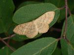 Idaea aversata f. remutata (Breitgebänderter Staudenspanner) / CH BE Hasliberg 1150 m, 04. 07. 2014