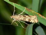 Nomophila noctuella (Wanderzünsler) / CH BE Hasliberg 1050 m, 18. 09. 2012