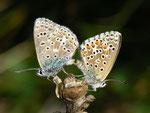 Polyommatus bellargus (Himmelblauer Bläuling, Paarung) / CH GR Surselva Sedrun Valtgeva  1548 m, 17. 09. 2012